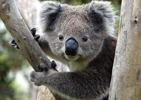 koala0