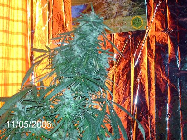 Cali-O X Big Bud roughley 78 days into flower