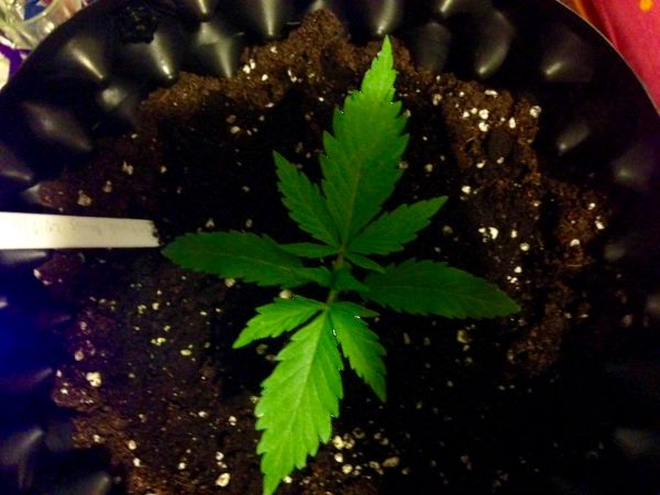Cbd Critical Mass seedling