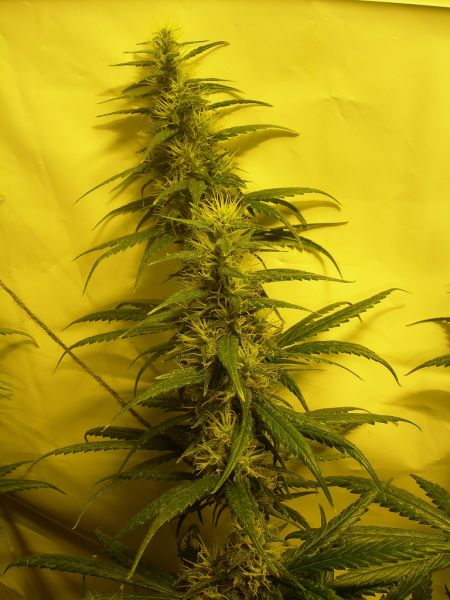 Nev_s_Skunk_Day50_of_flowering0005