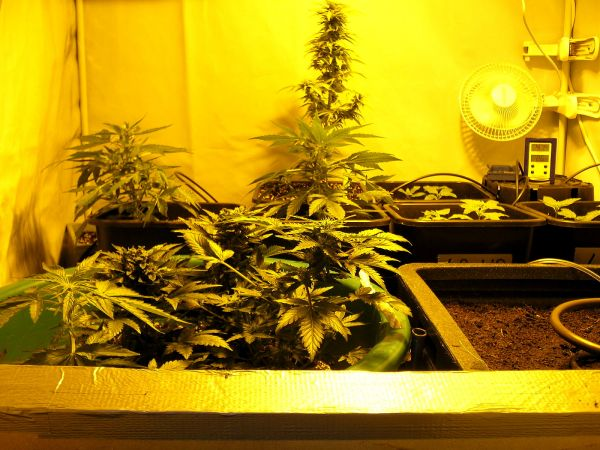 Three_Lowryder_Strains_growing_In_A_Homebox