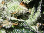 2011-_Summer_Trichomes-_Purple_Kush-_July22.jpg