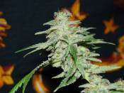 390Black_Widow_Frost_pheno_1_.jpg