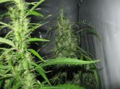 Black_Widow_3_weeks_new_room_10_weeks_flower.jpg