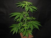 Black_Widow_Female_2_weeks_Flower1.jpg