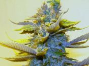 Blue_Chem_-_Day_46_of_70-_Feb41.jpg