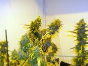 Blue_Chem_and_Psychosis-Deisel-_Feb4.jpg