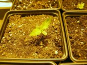 CBD3-_Up_Close_Seedling-_May15-2013.jpg