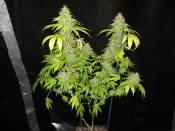 G13WIDOW_64Day_X.jpg
