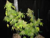G13Widow_X_clone_64_Days_12_12.jpg
