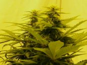 G13xHaze-x2-April12-_Short_n_Stubby.jpg