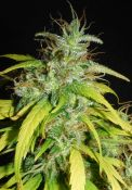 GrailWidow-58dayBloom.JPG