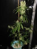 MHz_B_60Dayflower_Hempy_Bucket.jpg