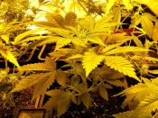 MNS_Ortega_Sept_20_-_12_Hour_Grow-Bud.jpg