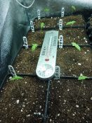MangoHaze_Seedlings.jpg