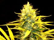 Mr_Nice_Early_Haze-_Trippy-_2009-_test_seed.jpg