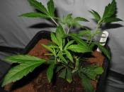 NH_s_clone_4_topped_1_week_12-12_.jpg