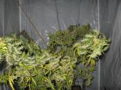NH_s_clone_8_5_at_12_weeks_12-12.jpg