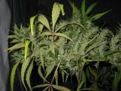 NHz_clone_8_at_10_weeks_12-12.jpg