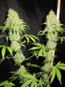 NL5_Skunk_days_63_harvest_a.jpg