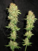 NL5_Skunk_harvest_days_61_b.jpg