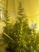 Nev_s_Skunk_Day30_of_flowering0009.JPG