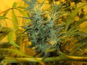Nevs_Haze_clone_8_at_9_weeks_12-12.jpg
