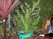 Nice_Heavy_Sativa_-NHS-Boost_N_Bloom_Sept6.jpg