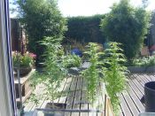 Outdoor_Mid_September_2011-_TJS_Larry_x_Smurf.jpg