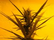 Sativa_Dominant_Early_Haze_-_Feb_15-2010.jpg