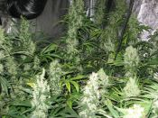Shark_Shock_G13x_Skunk1.JPG