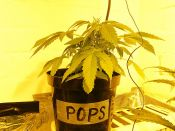 Trichome_Jungle_Seeds_-_Pops-_transplant_Time_May6.jpg