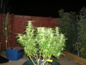 Turkish_Sativa_Grown_In_North_Wales-October.jpg