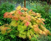 acer_shirasawanum_autumn_moon.jpg