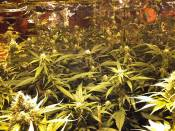 cm_clones_4_weeks_flower-1.JPG
