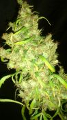 nevs_pheno_3_day_114_008.jpg