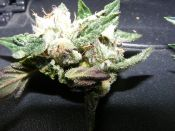 purple_kush-lil_nugget-july22-2011.jpg