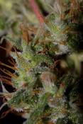 NH_24aug_samplebud011.jpg