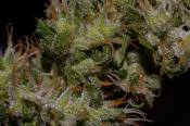 NH_24aug_samplebud013.jpg