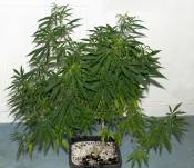NH_fem_seedplant_mom270Day.jpg