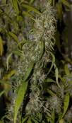 NevillesHaze_24Aug_bud005.jpg