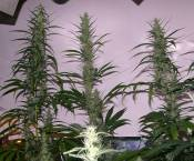 G13_SKdominant_58day_from_germination.jpg