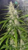 G13_SKdominant_day62_fromseed_002.jpg