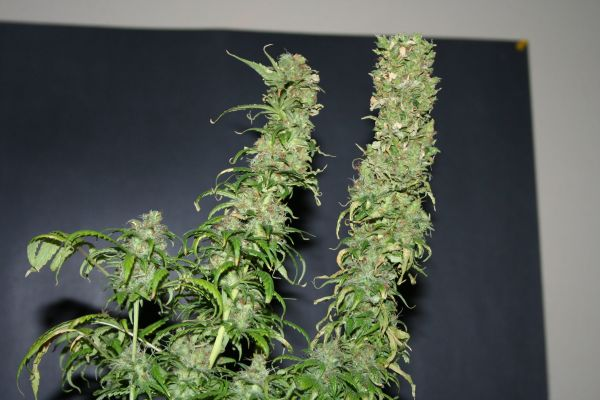 MNS Haze 'C' hybrid - 70 days flowering