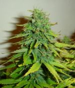 010910ElNino_B_bud_1.jpg