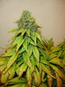 011610ElNino_C_bud_1.jpg