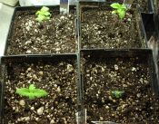 101109ElNino_Seedlings.jpg