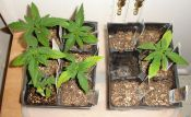 010310LaNina_Group_seedlings.jpg