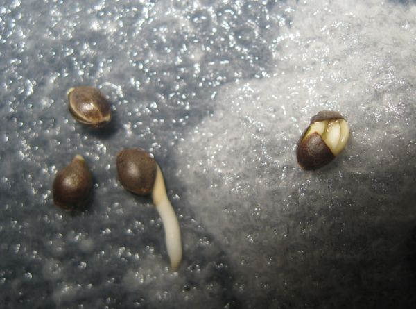 ASH Seeds