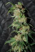 2012_03_15_LED_NevHaze7_84days4.jpg